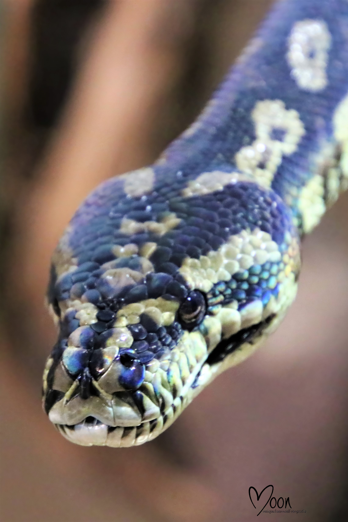 Tapijtslang (Boa Constrictor) - - - foto door Snoepje op 11-10-2020 - deze foto bevat: dieren, slang, reptiel, boa constrictor