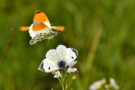 oranjetipje in de vlucht,