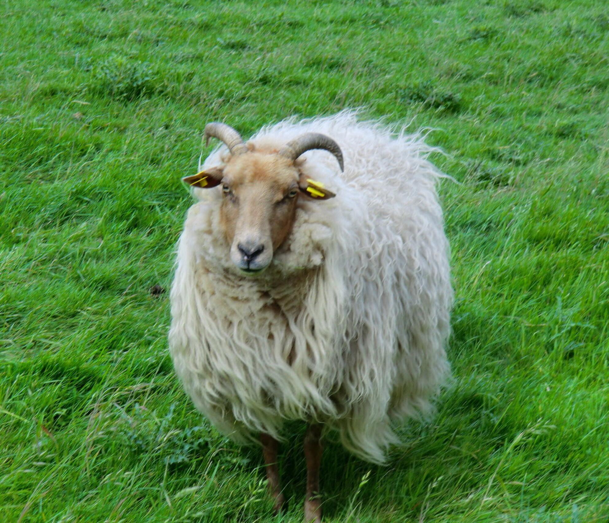 DRENTS HEIDESCHAAP - Gezien tegenover in een weiland van mijn tijdelijke verblijfplaats in Warffum,waar enkele van deze schapen/lammetjes en geitjes liepen,en deze kon va - foto door ruudpeter op 27-05-2011 - deze foto bevat: drents heideschaap - Deze foto mag gebruikt worden in een Zoom.nl publicatie