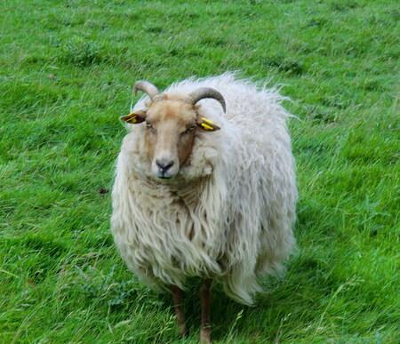 DRENTS HEIDESCHAAP - Gezien tegenover in een weiland van mijn tijdelijke verblijfplaats in Warffum,waar enkele van deze schapen/lammetjes en geitjes liepen,en deze kon va - foto door ruudpeter op 27-05-2011 - deze foto bevat: drents heideschaap