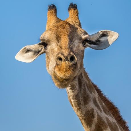 Giraf in wilde natuur Namibië