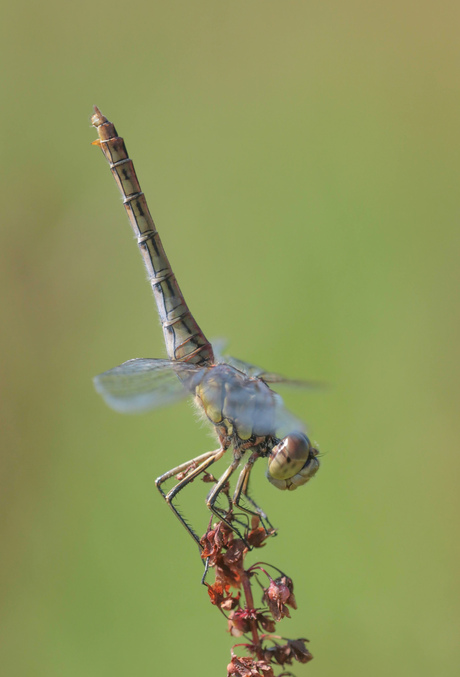 Steenrode heidelibel!