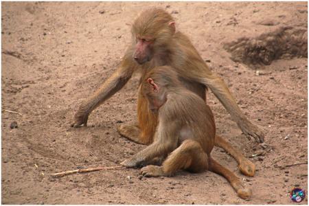 Tot hier en niet verder ... - - - foto door willemdanker op 20-11-2018 - deze foto bevat: dierentuin, aap, amersfoort