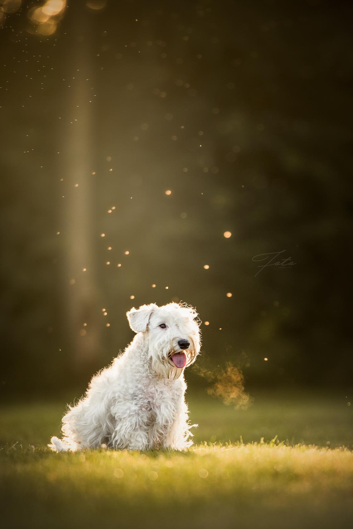 Beau - Mijn favoriete hondenras: de Sealyham terrier. Tegenwoordig vrij zeldzaam maar daardoor zéker niet minder leuk.   Hier Beau in het avondlicht. - foto door HannahV op 20-06-2018 - deze foto bevat: groen, natuur, huisdier, bos, hond, avondlicht, dier
