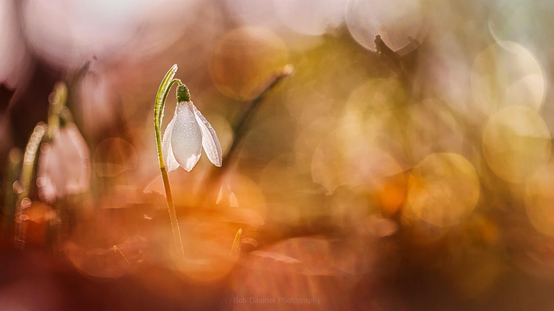 """Treasure - """"I have just three things to teach: simplicity, patience, compassion. These three are your greatest treasures."""" - Lao Tzu  Uit het archief... - foto door bobphoto op 10-12-2016 - deze foto bevat: macro, bloem, lente, natuur, bruin, druppel, geel, licht, oranje, tegenlicht, dauw, dof, bokeh"""