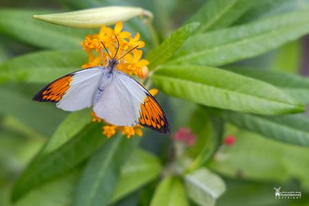 Vlinders aan de Vliet - Het oranjetipje is een gemakkelijk te herkennen voorjaarsvlinder die, heel toepasselijk, rond Koningsdag te vinden is. De rest van het jaar is de soo - foto door amsterdamned_zoom op 04-09-2020 - deze foto bevat: macro, vlinder, oranjetipje, insect, holland, nederland, vlindertuin, leidschendam, amsterdamned, vlinders aan de vliet