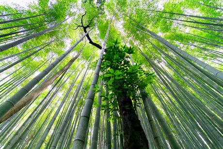 A trail through the bamboo