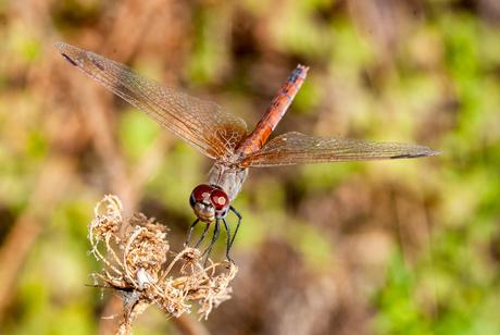 Purperlibel (V-Z)