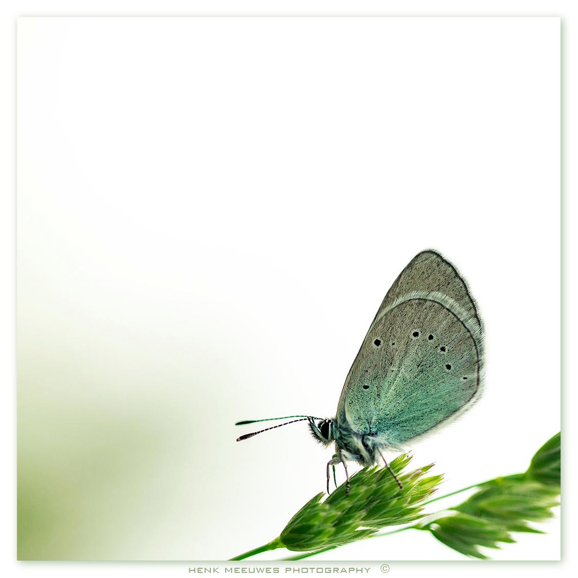 early in the morning - Vroeg in de ochtend in Kroatië geschoten. Geen idee wat zijn of haar naam is? Groetjes Henk update:  een Bloemenblauwtje (Glaucopsyche alexis) dus - foto door h.meeuwes op 18-07-2013 - deze foto bevat: vlinder, blauwtje, ochtend, vroeg