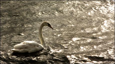 Een meer met een zwaan