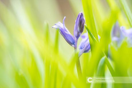 De wilde hyacint