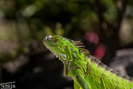 Groene Leguaan in Costa Rica