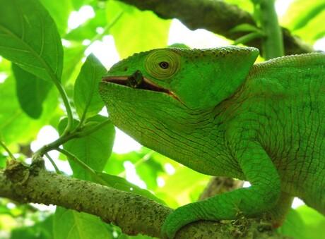 Kameleon Madagaskar