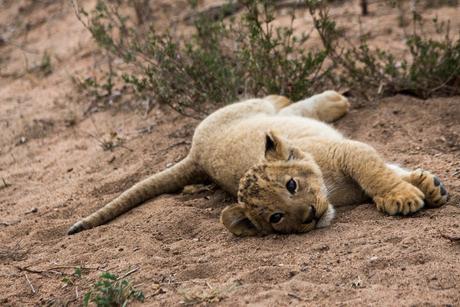 Lion cub strikes a pose - Zuid Afrika
