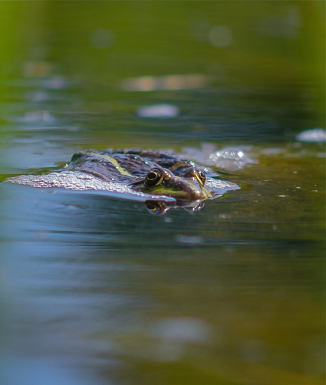 I'll come to you - Voor het eerst kikkers fotograferen. Wat een leuke bezigheid!  Met bijna alle zoomers van de Botanische dag van zondag lagen we om de poel. Kan ook  - foto door tineteeuw op 21-05-2014 - deze foto bevat: kikker, water, zoomdag