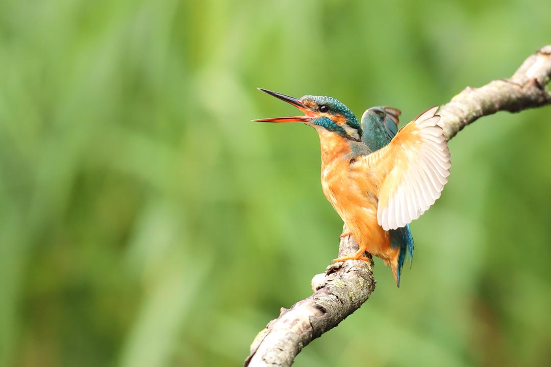 Ijsvogelvrouwtje - Ijsvogelvrouwtje zoekt contact met het mannetje. - foto door ErikV74 op 21-07-2020