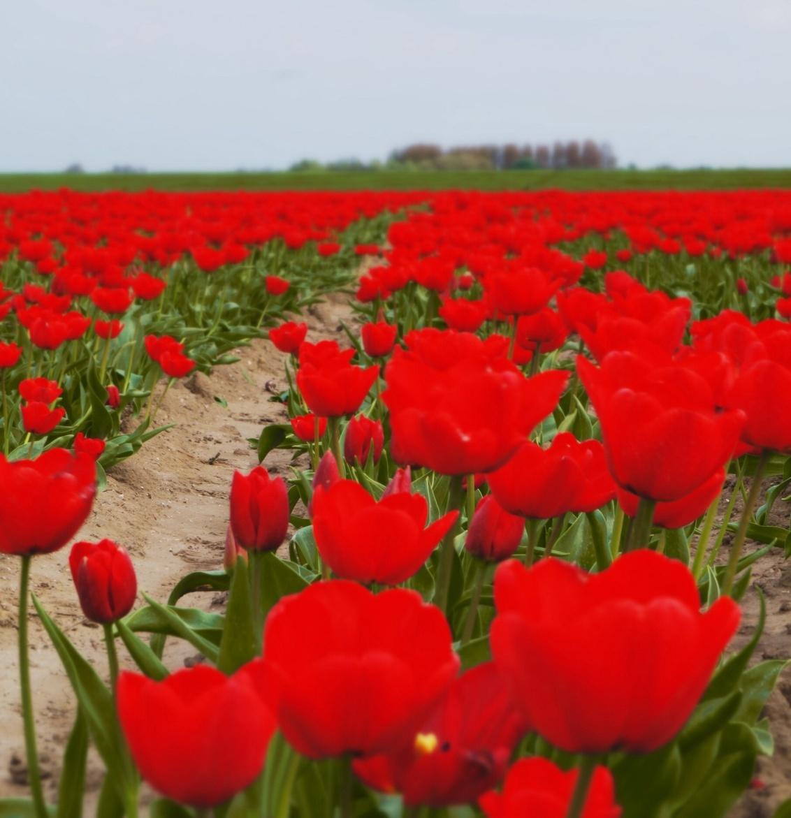 Rijp voor oogst - Onderweg naar m,n eiland, en dan zie je bijna uitgebloeide tulpen, - foto door Sonyjoenka op 13-04-2014 - deze foto bevat: natuur