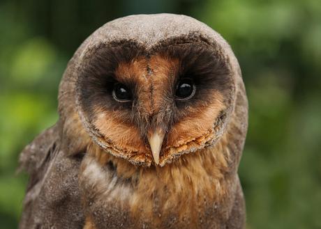 Black Barn Owl.
