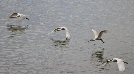 Lepelaars - Mooi momentje met deze lepelaars laag over het water vliegend in de Oostvaardersplassen - foto door Waltherwb op 28-03-2021 - deze foto bevat: water, lepelaar, watervogel