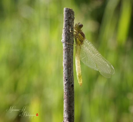 Jonge heidelibel 2