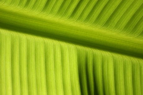 Bananen blad