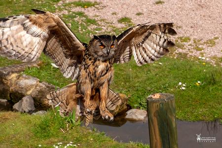 Avifauna - De Oehoe tijdens de vernieuwde vogelshow bij Avifauna. Kreeg hem er helaas niet helemaal op maar vond het actiemoment wel mooi. - foto door amsterdamned_zoom op 28-04-2019 - deze foto bevat: uil, vogel, holland, roofvogel, nederland, avifauna, vogelshow, vogelpark, amsterdamned, Zuid Holland