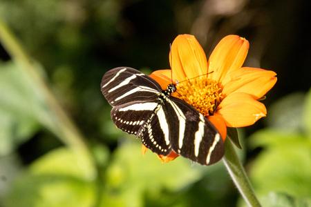 Zebravlinder - Heliconius charithonia of de zebravlinder zie je vaak in vlindertuinen maar nooit gedacht dat ze ook tagetes leuk vinden. Tagetes, Afrikaantjes genaa - foto door Rudy1974 op 06-12-2020 - deze foto bevat: dierentuin, vlinder, dieren, bloemen, insekt, vlindertuin