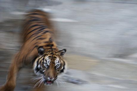 tijger in beweging