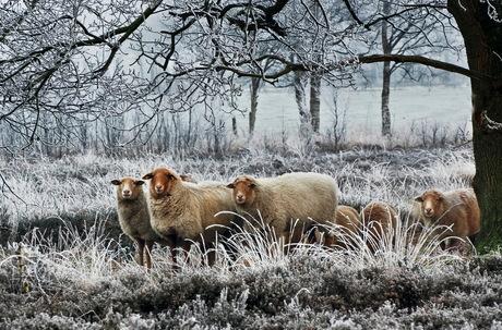 DSC_8011-2011.jpg Drents Schaap in de sneeuw