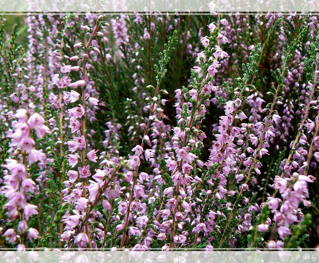 Calluna Vulgaris - Oftewel het welbekende heideplantje ;)     (even in het groot bekijken) - foto door daniel44 op 22-02-2008 - deze foto bevat: natuur, heide, plant, daniel44