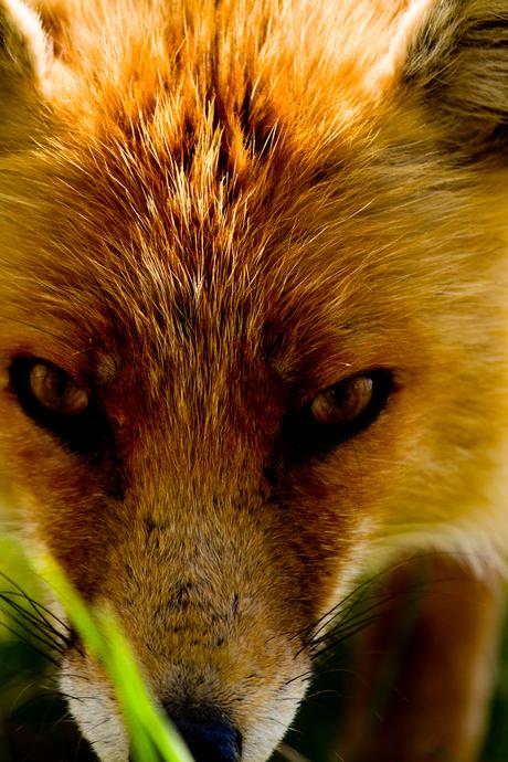 vossengezicht