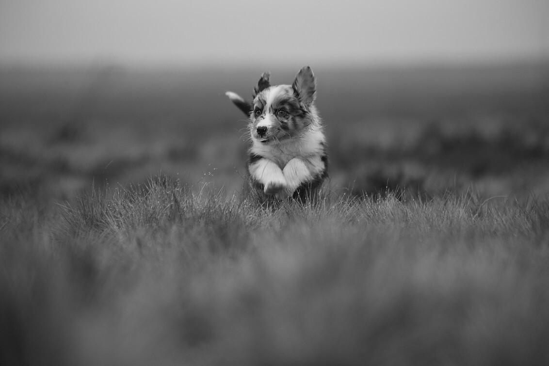 puppy - vorige week mocht ik puppy's fotograferen van 7/8 weken oud ..wat een feest was dat..10 kleine wolbaaltjes die om ons heen dartelden..mooi zitten voo - foto door dylano op 18-01-2018 - deze foto bevat: dieren, hond, jong, dylano