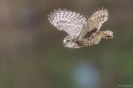 ZZZZZOOOOOEEEEFFFFF - - - foto door frankjacobs op 10-06-2019 - deze foto bevat: uil, natuur, dieren, vogel, nikon, roofvogel, wildlife, frank jacobs, frankjacobs, nikon d5, holenuiltje
