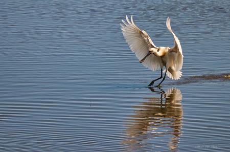 Vliegje en de lepelaar - Als je goed kijkt zit er net boven het water een vliegje in het verlengde van de snavel van de lepelaar :-) - foto door Waltherwb op 27-03-2021 - deze foto bevat: vogel, lepelaar, watervogel
