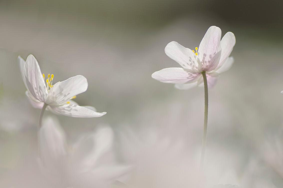 Lichtpuntjes - Wanneer de Bosanemonen weer gaan bloeien, dan gaat het hart van de natuur-/macrofotograaf sneller kloppen. Het teken dat de lente begonnen is. - foto door birgitte61 op 20-04-2020 - deze foto bevat: macro, wit, bloem, natuur, licht, tegenlicht, dof, bokeh