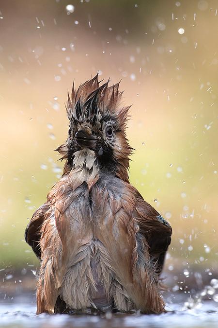 Bad Hairday! - Deze Gaai was zich uitgebreid ah badderen een fantastisch gezicht!  Iedereen een fijn weekend en bedankt voor de mooie commentaren op mijn vorige u - foto door tom kruissink op 29-06-2018 - deze foto bevat: natuur, druppel, portret, veren, vogel, dier, nat, close, gaai, kapsel, spetters, kuif, punk, wassen, bokeh, haardracht, zangvogel, bad hairday