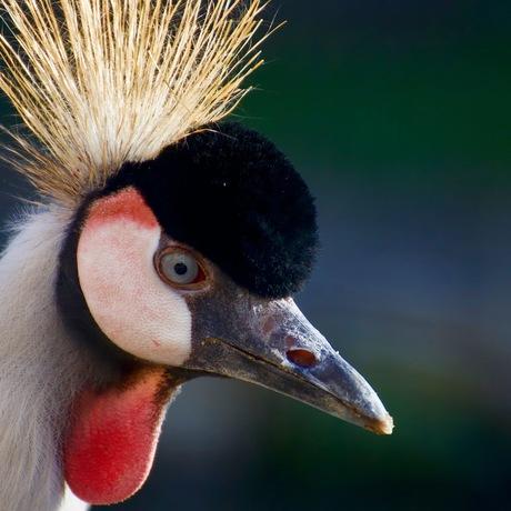 Kroon-kraanvogel Close-up