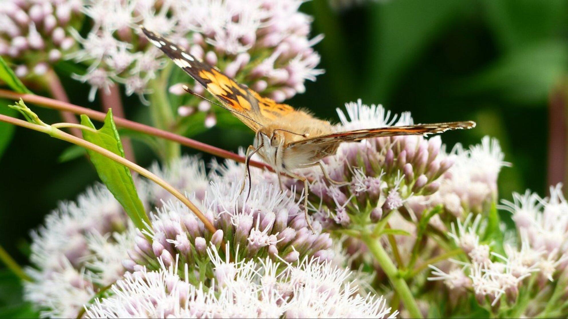 distelvlinder - Distelvlinder - foto door WoutDef op 27-02-2021 - deze foto bevat: macro, natuur, vlinder, insect - Deze foto mag gebruikt worden in een Zoom.nl publicatie