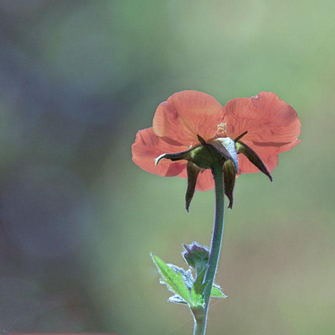 Soft - .. - foto door hillegonda op 20-05-2012 - deze foto bevat: rood, bloem, bewerkt, zacht