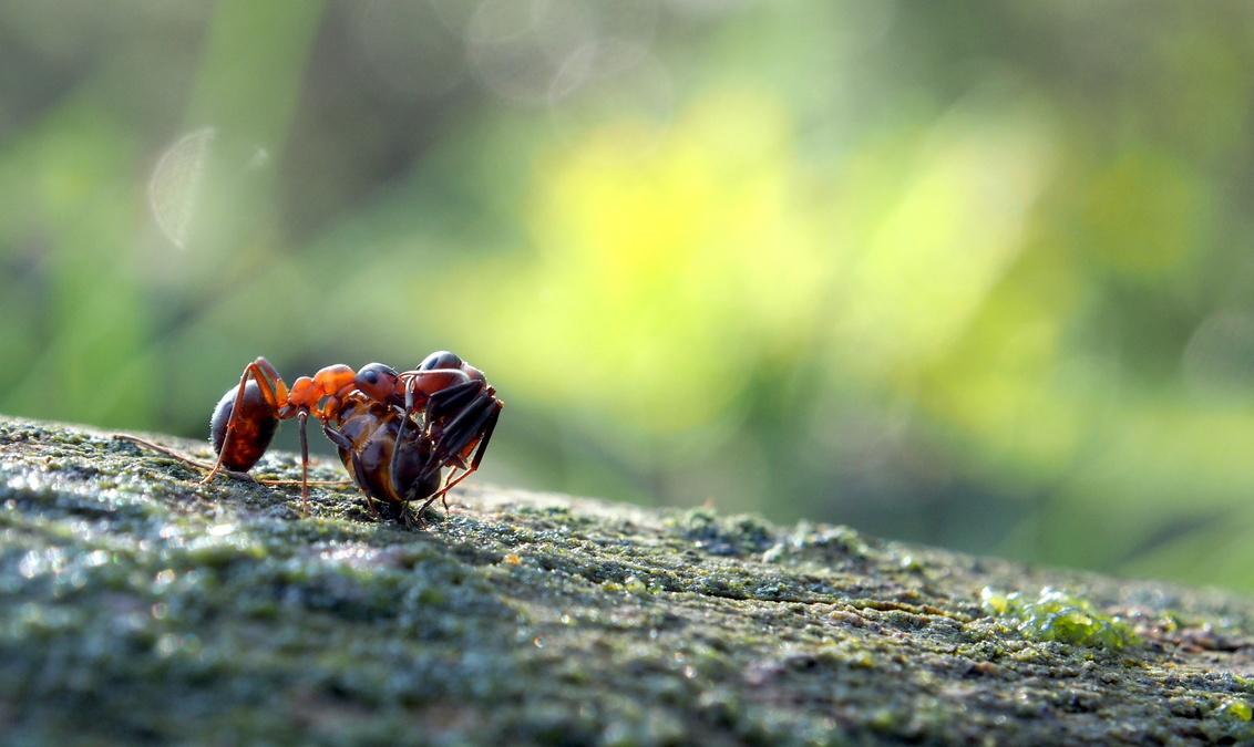 word gedragen - Deze bos mier heb ik bij kampina Oisterwijk genomen close up. wat kan zo klein beestje schouwen .  Dank  jullie wel voor  fijne reactie. Groetjes  - foto door marijke1234 op 07-11-2017