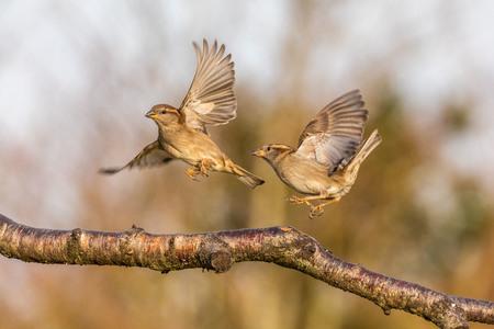 Let's dance - Iso 1000. 400mm. F7.1. 1/1600sec. - foto door Fred-horst op 18-03-2021 - deze foto bevat: mus, mussen, voorjaar, voedsel, huismus, ruzie, tele, telelens, zangvogels, opvliegen, passeridae, fredhorst, #zoomnl