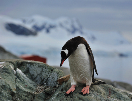 Antarctica, Gentoo in Paradise Bay