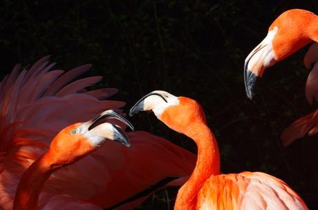 stoeiende flamingo's