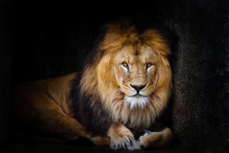 Lion King - Leeuw in artis. - foto door mophotography op 09-01-2013 - deze foto bevat: amsterdam, dierentuin, artis, leeuw