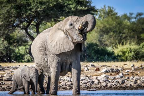 Olifanten, Etosha National Park, Namibie