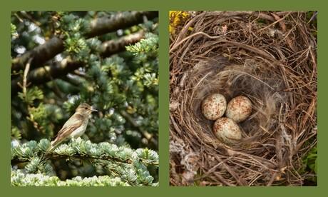Grauwe vliegen vanger met nestje
