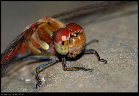 Close-up van de bruinrode heidelibel.