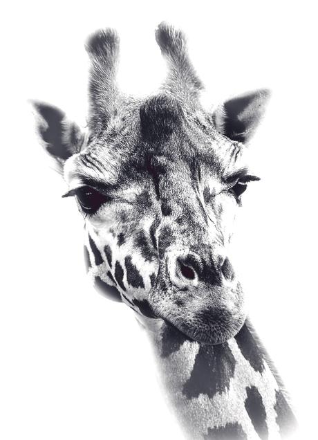 Giraffe WildLands Emmen