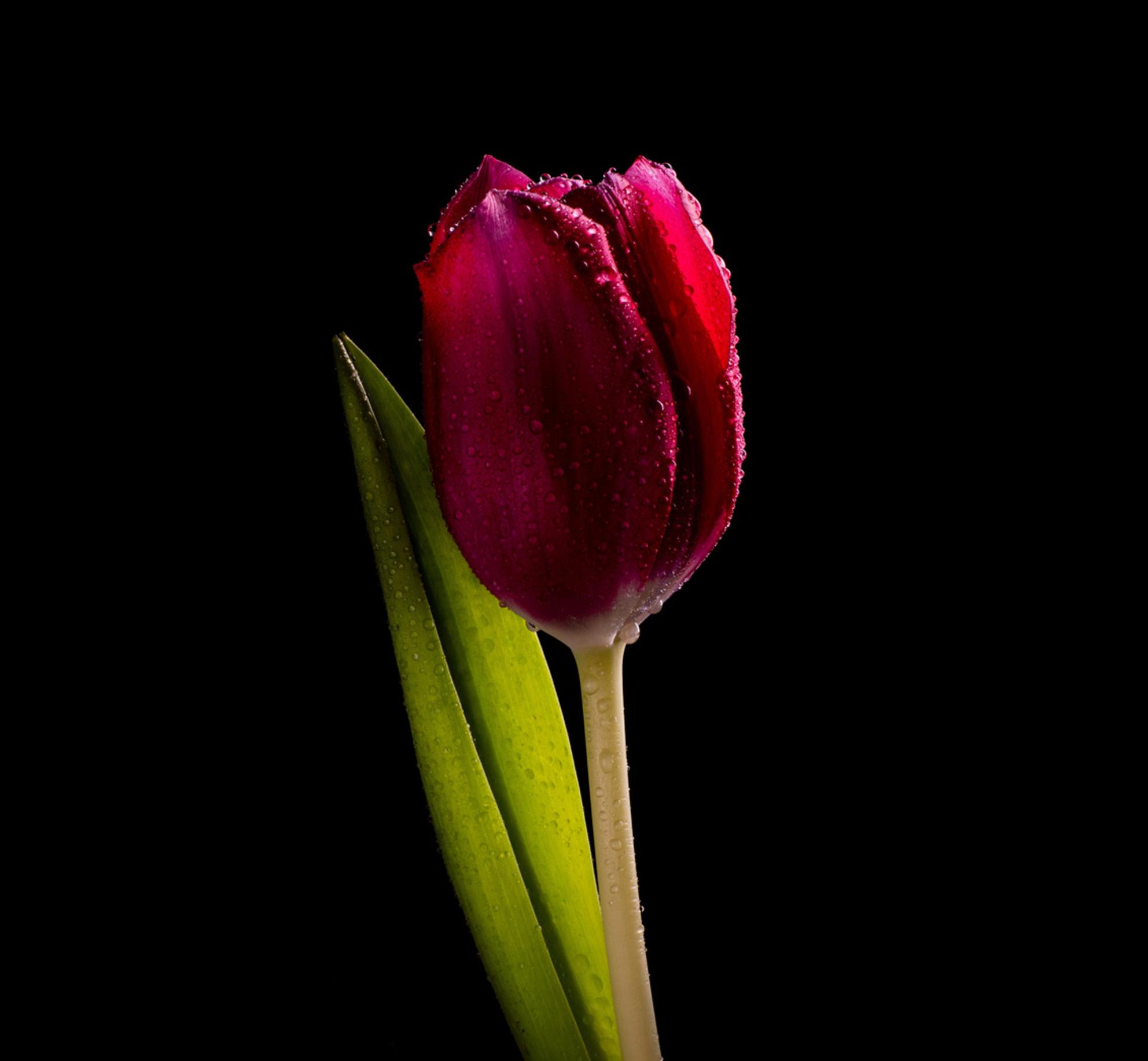Hollands Glory - Voor onze Hollands trots is in mijn ogen niet veel nodig. Ik wil haar schoonheid zo eenvoudig mogelijk laten. - foto door Coramija-Fotografie op 08-03-2021 - deze foto bevat: groen, macro, bloem, water, lente, natuur, druppel, licht, herfst, tulp, blad, voorjaar, nederland - Deze foto mag gebruikt worden in een Zoom.nl publicatie