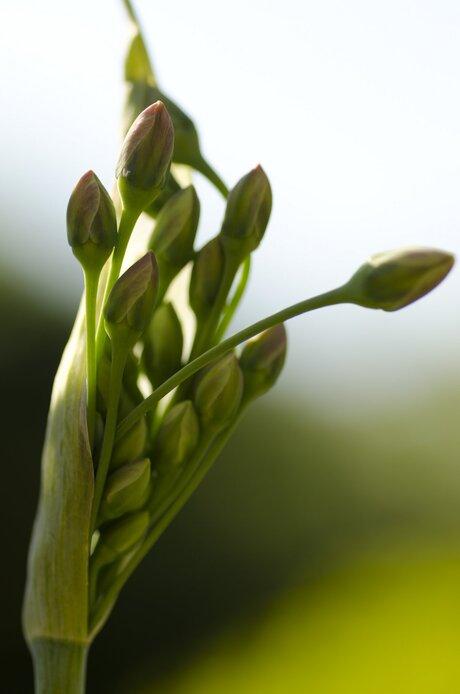 Allium in knop